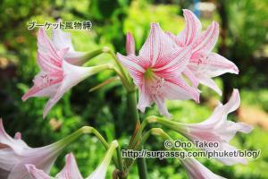 この記事「プーケットの花・・2」の写真 (358-019)