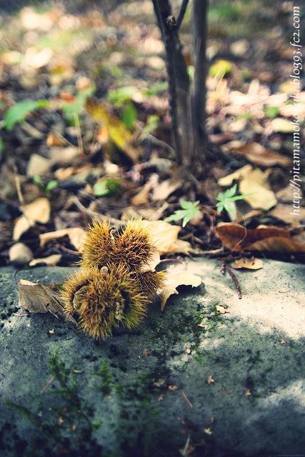雑木林の栗121104-1