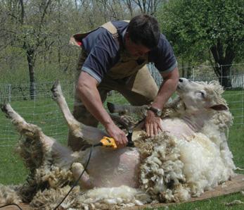 SheepShear.jpg