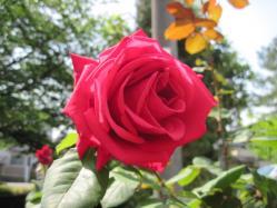 沼津のお母さんのバラ