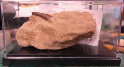 プレシオサウルスの化石