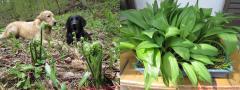 山菜とP&P