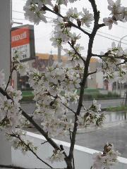 sakurasaronn2.jpg