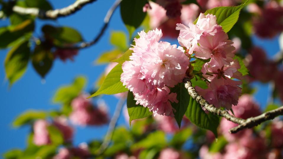 八重桜くん