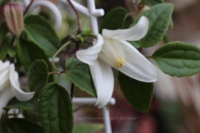 冬咲きクレマチス「アンスンエンシス」