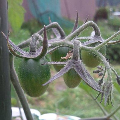まだ青いミニトマト