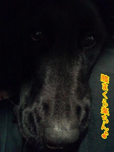 コタツ犬1