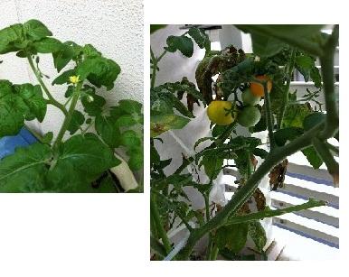 GetAttachment我が家のトマト花咲く