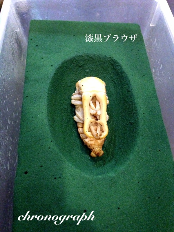 ギラファ蛹