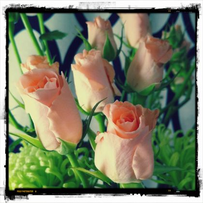 rose_p.jpg