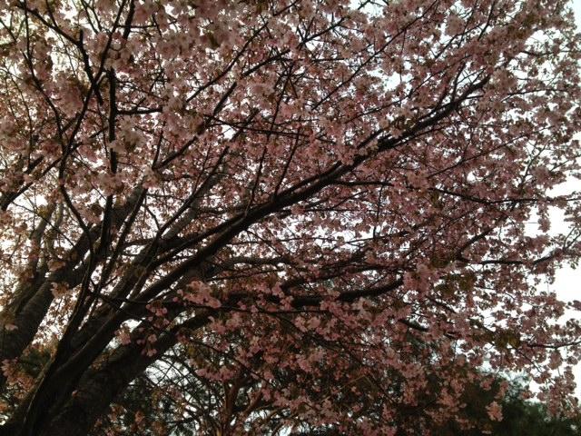2012 桜1