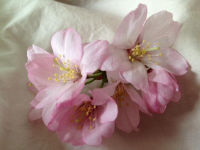 2012 桜3