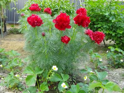糸葉芍薬とイチゴ