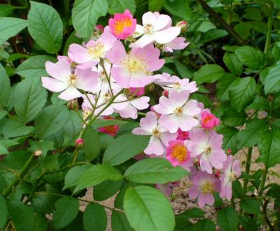 原種のバラ