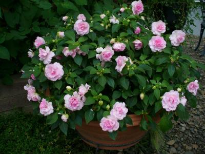 八重咲きインパチェンス(アップルブロッサム)