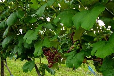 色づき始めたワイン用のブドウ