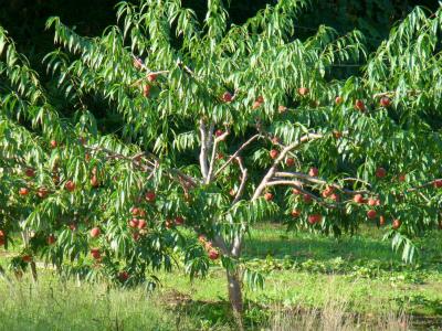 三谷果樹園の桃の木