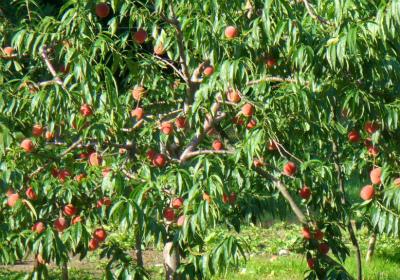 三谷果樹園の桃