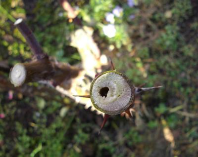 バラの茎に虫の穴が・・・
