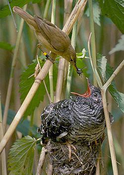 自分より大きいカッコウに餌を与えるオオヨシキリ ウィキペディアから引用