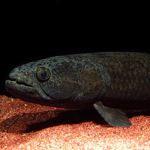 ブラックタイライロン (2)