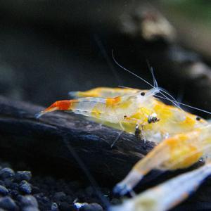 オレンジルリー01
