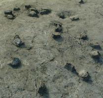 2012-05-29_久宝寺遺跡のため池跡で大量に出土したスッポン(大阪府文化財センター提供)