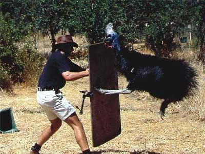 world-most-dangerous-bird-cassowary03.jpg