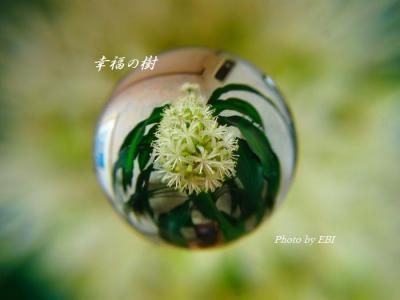 幸福の樹の花