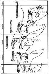 馬の進化図 ただ大きい順に並べただけ
