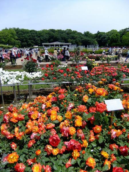 神代植物公園・バラ園20〔フリー写真〕