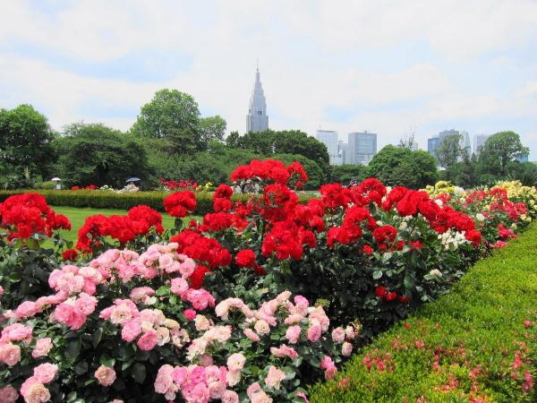新宿御苑 バラ園1〔フリー写真〕