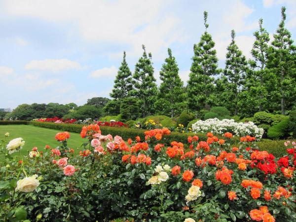 新宿御苑 バラ園3〔フリー写真〕