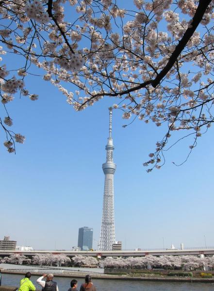 桜とスカイツリー2〔フリー写真〕