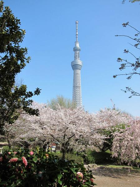 桜と東京スカイツリー2〔フリー写真〕