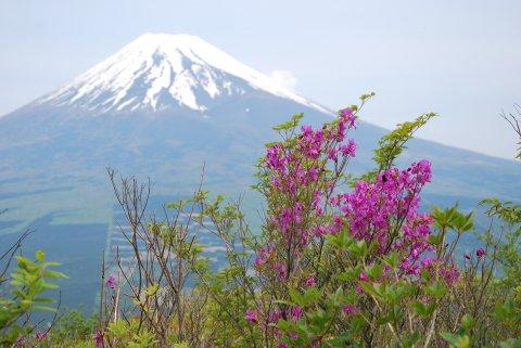 ツツジと富士山