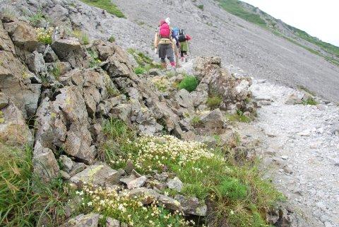 シコタンソウ咲く道