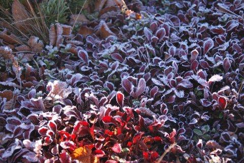 ウラシマツツジと霜