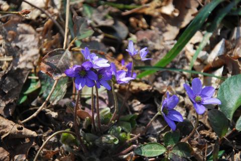 雪割草 青紫