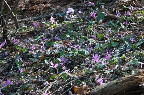 林床の雪割草とカタクリ