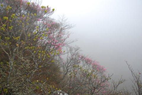 霧のアカヤシオ