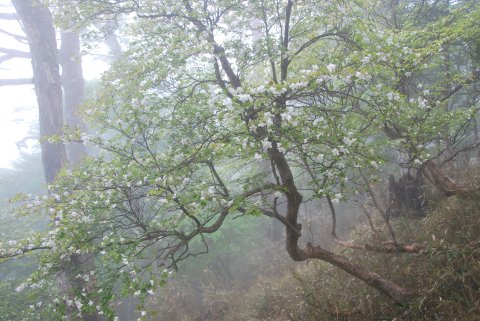 霧のシロヤシオ