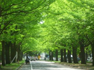 大学構内の銀杏並木です。