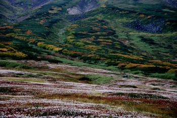 裾合平、紅葉とチングルマの大群落。