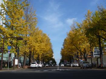 北3条通りの銀杏並木。