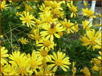 2012.10.22 蜂 小菊