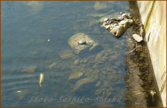 2012.10.27 鯉 江戸川橋公園