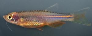 No striped zebra fish