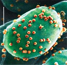Acanthocystis turfacea Chlorella virus 1