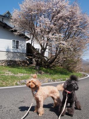 桜咲いてる!